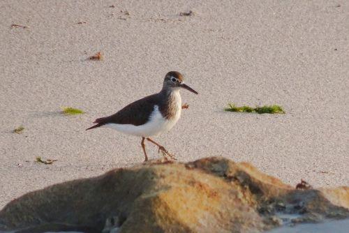 bird sandpiper common sandpiper
