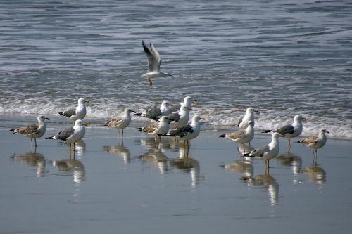 bird gull heuglin's gull