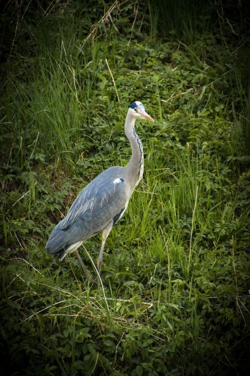 bird heron nature