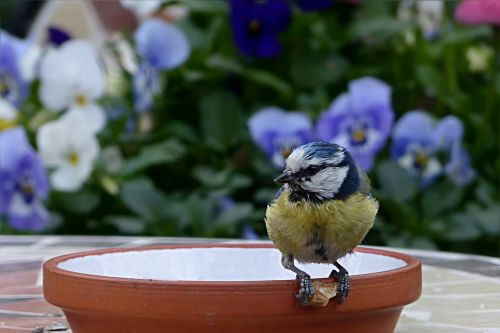 bird tit blue tit