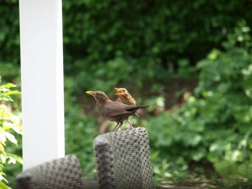 bird birds blackbirds