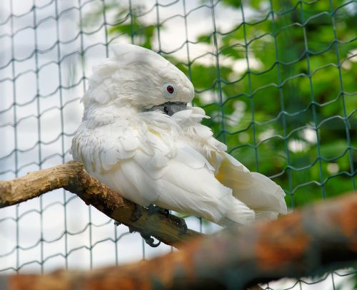 bird cockatoo white