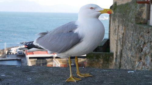 bird seagull naples