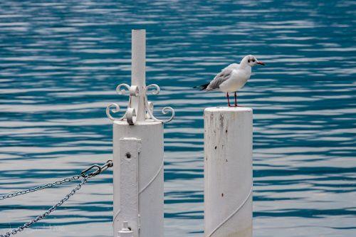 paukštis,kajakas,gamta,jūros paukštis,jūra,vanduo,vandenynas,kepuraitė