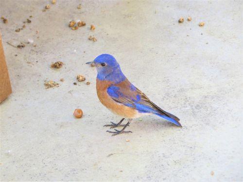 paukštis,mėlynas,laukiniai,Utah,gamta