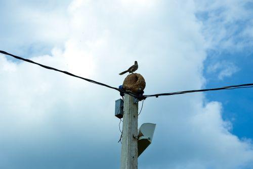 bird joao de barro native