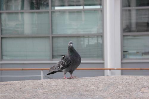 bird dove birds