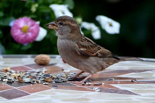 bird sparrow sperling