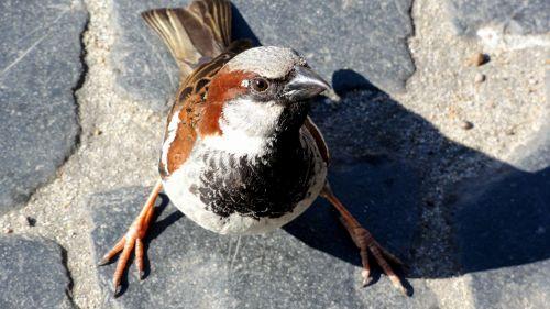 bird the sparrow wróbelek