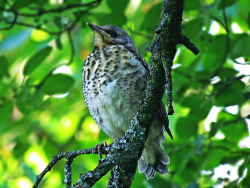 bird drozd young