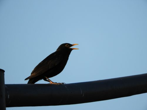 bird city blackbird