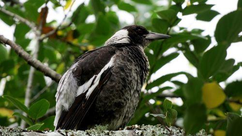 paukštis,speniai,australia