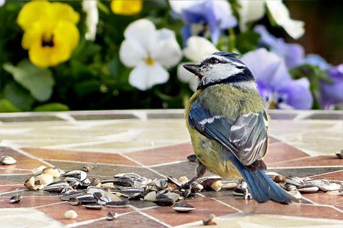 bird tit blue tit