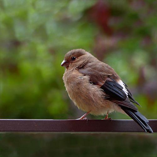 bird bullfinch pyrrhula