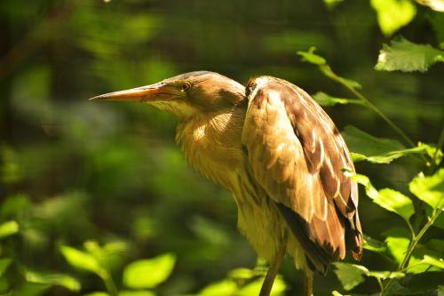 paukštis,sąskaitą,plumėjimas,didelis snapas,gyvūnas,gamta,gyvūnų pasaulis,egzotinė paukštis,gyvūnų portretas
