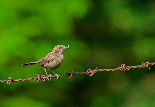 bird robin wildlife