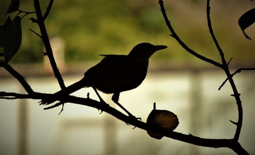 bird thrush on the branch