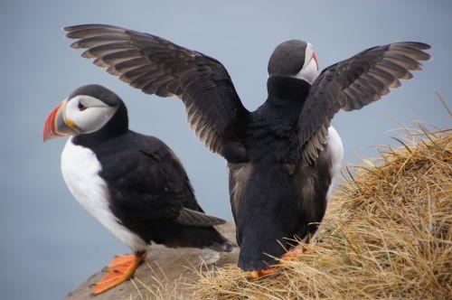 paukštis,iceland,puffin,uolos