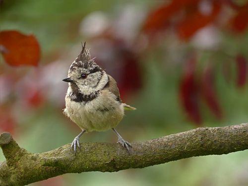 bird tit crested tit