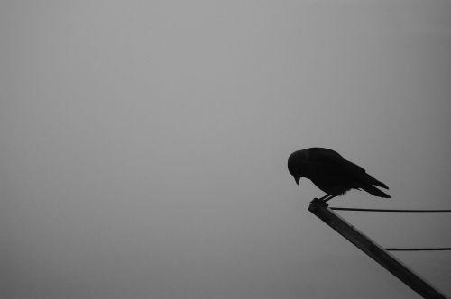 bird crow raven
