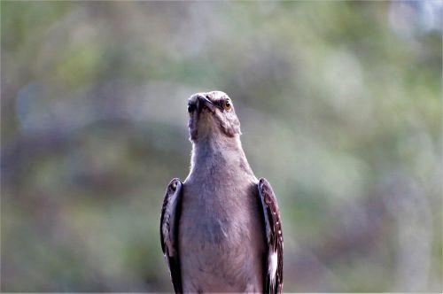 paukštis,Strazdas giesmininkas,giesmininkas,laukinė gamta