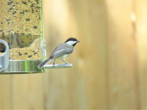 bird tiny chickadee