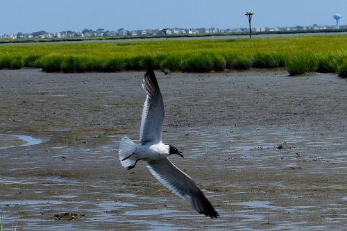 bird seagull marshland