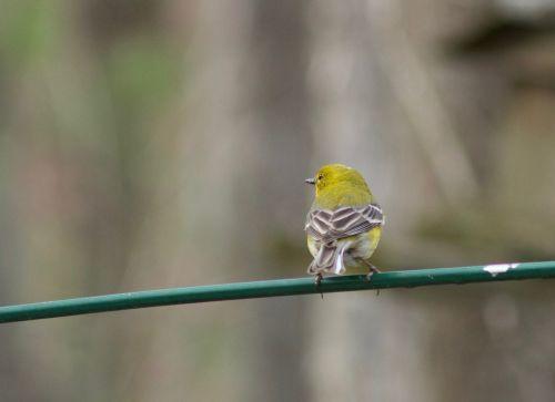 bird yellow perch