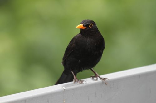 bird blackbird songbird