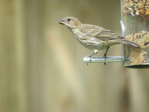 bird brown and tan wildlife