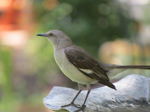 bird songbird mockingbird