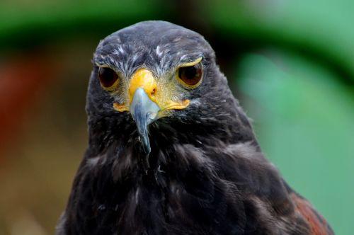 bird eagle predator