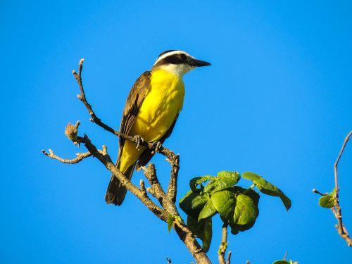 bird cambacica yellow