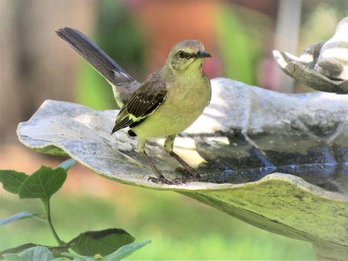 paukštis,giesmininkas,Strazdas giesmininkas,laukinė gamta