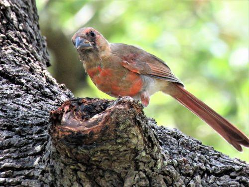 bird young immature cardinal