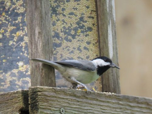 bird black and gray wildlife