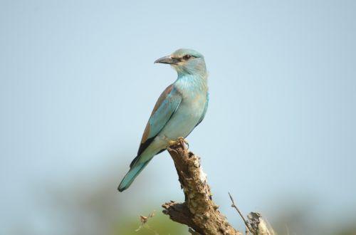 paukštis,volas,europietis,laukinė gamta,gamta,gyvūnas,mėlynas,afrika,fauna,europinis volas,safari,pietų Afrika,ekoturizmas,turizmas