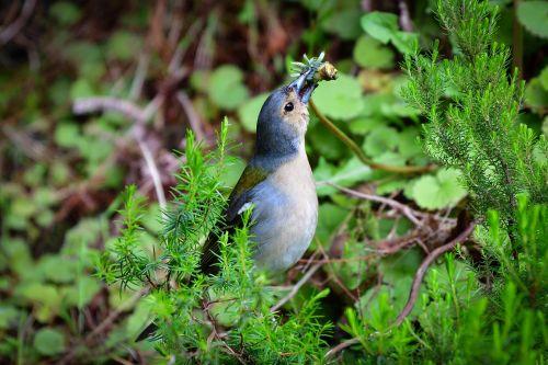 bird fink nature