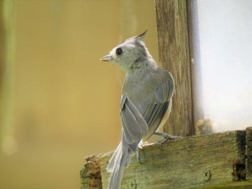 bird gray tan