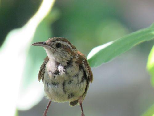 bird brown tan