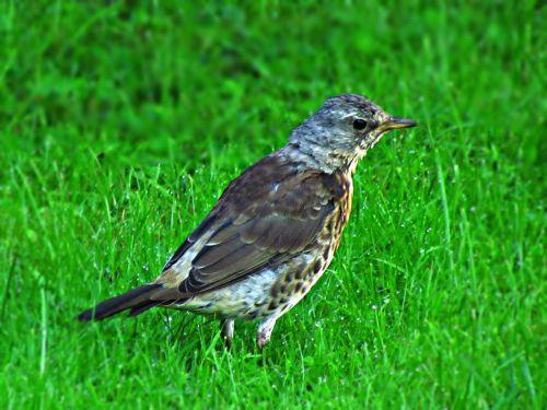 bird drozd nature