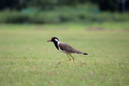 bird grass walking