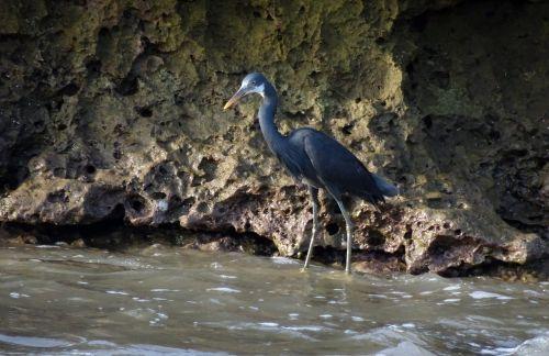 bird wader western reef heron