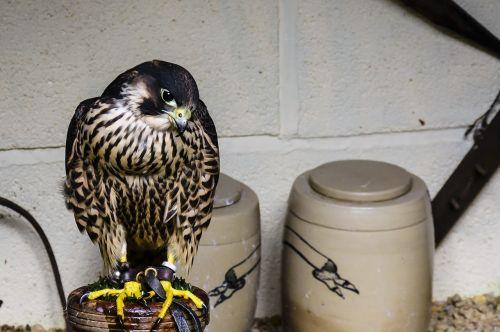 bird ornithology prey