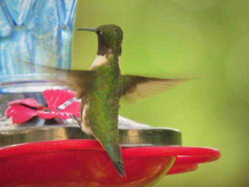 bird hummingbird rear view