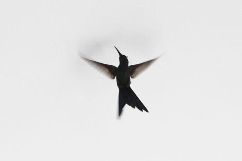 bird beija-flor ave