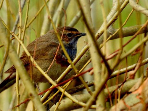 bird bluethroat rarely