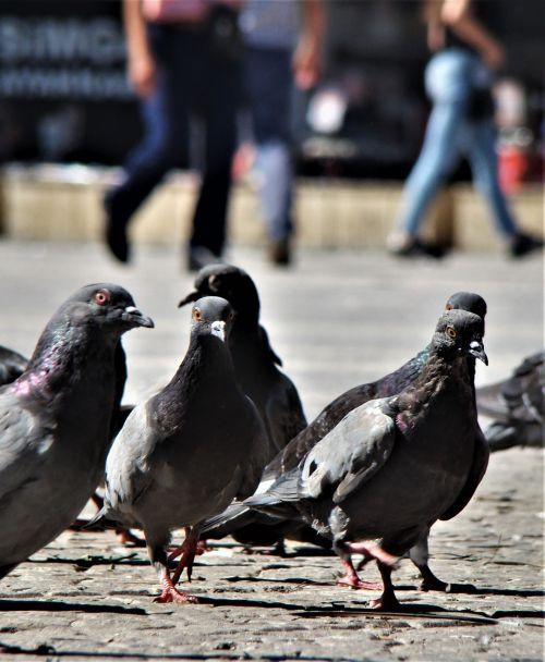bird pigeon animal