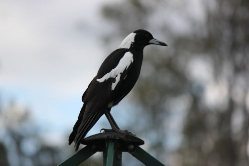 bird australian magpie native