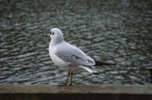 bird gull ornithology